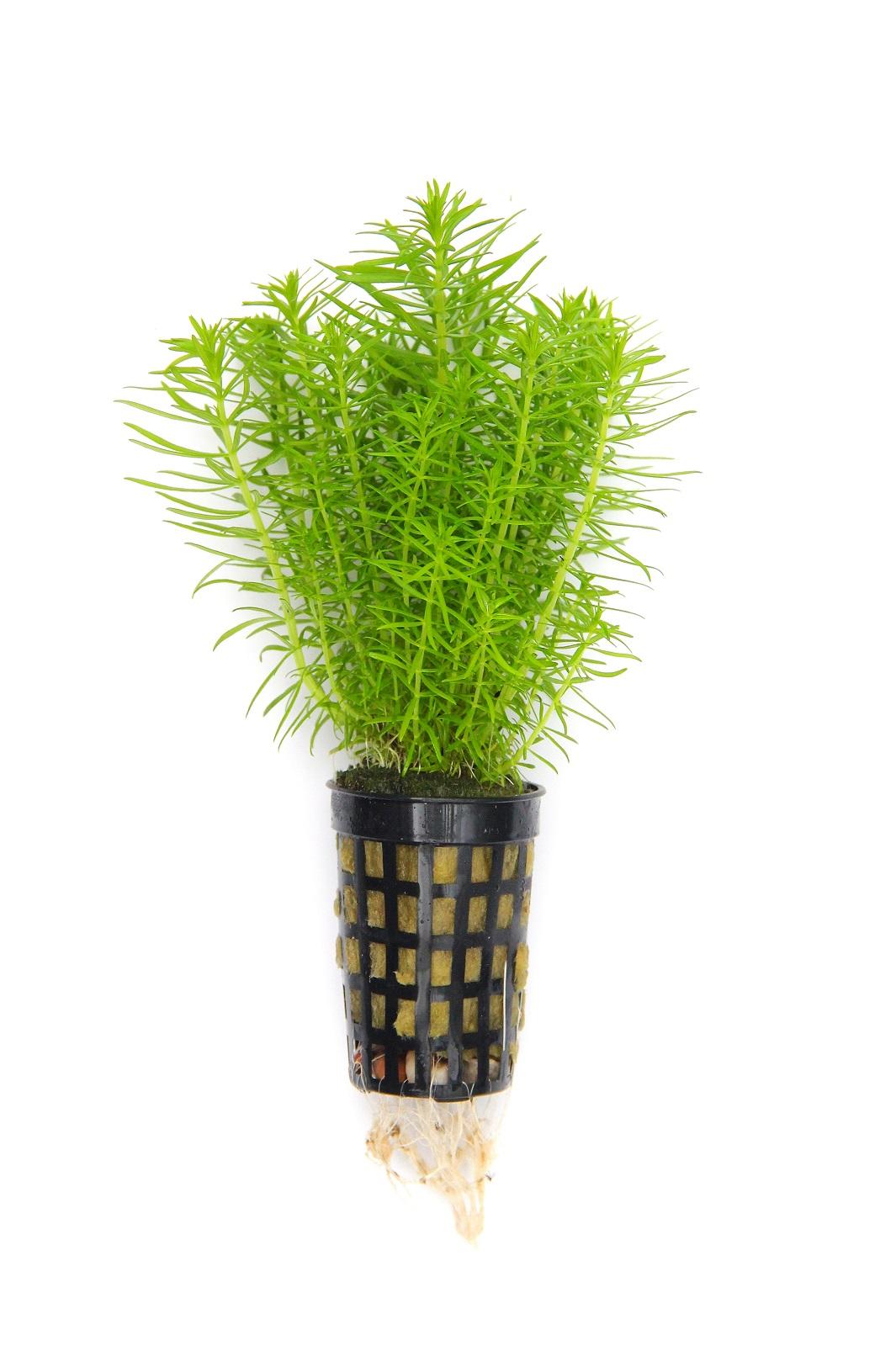 Pogostemon erectus Indische Sternpflanze 1 Topf Ø 5cm