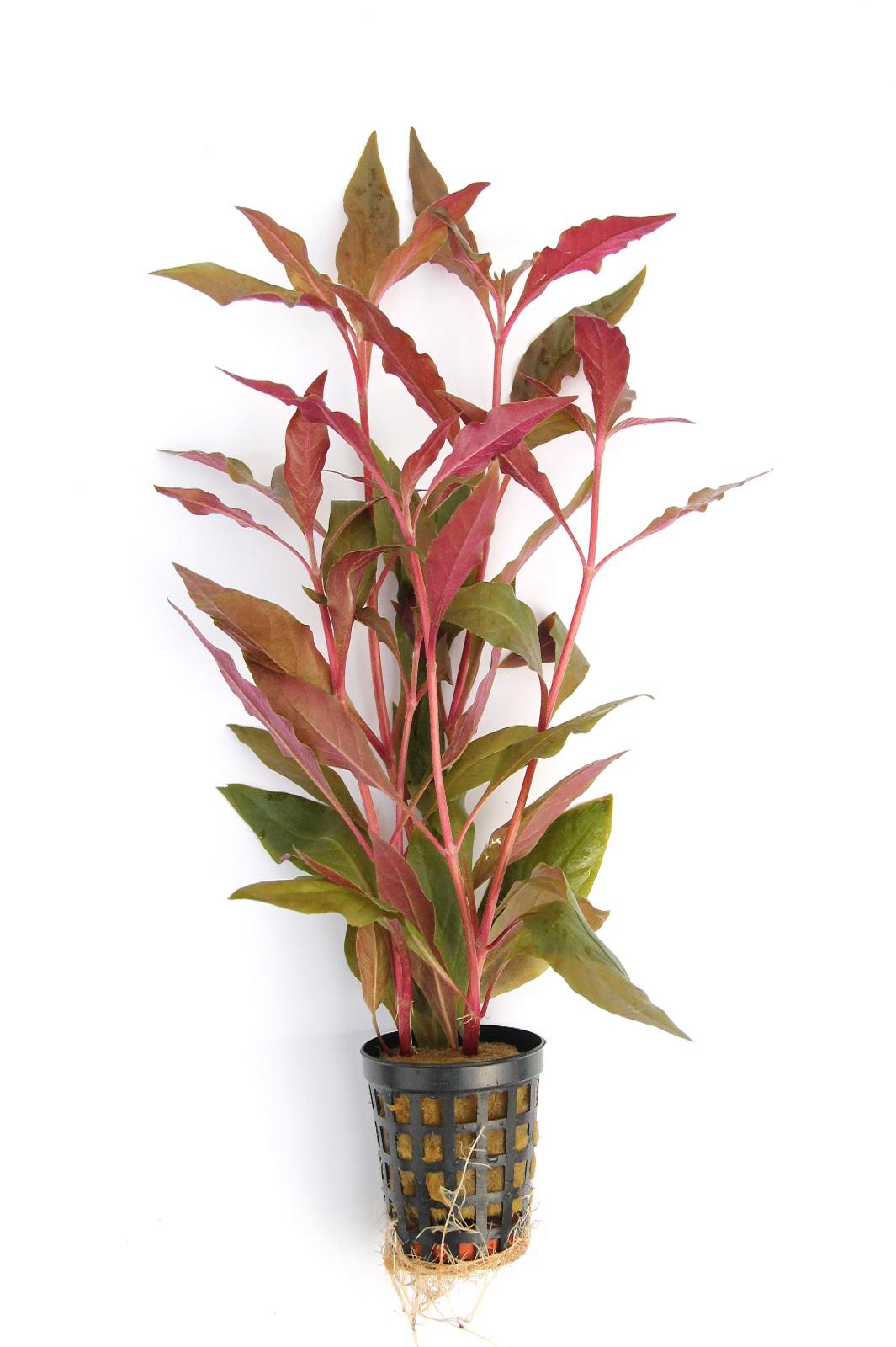 Breitblättriges rotes Papageienblatt Alternanthera reineckii Ø 5cm Wasserpflanze