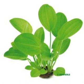 Dennerle Wasserpflanze Harbichs rötlicher Froschlöffel Echinodorus
