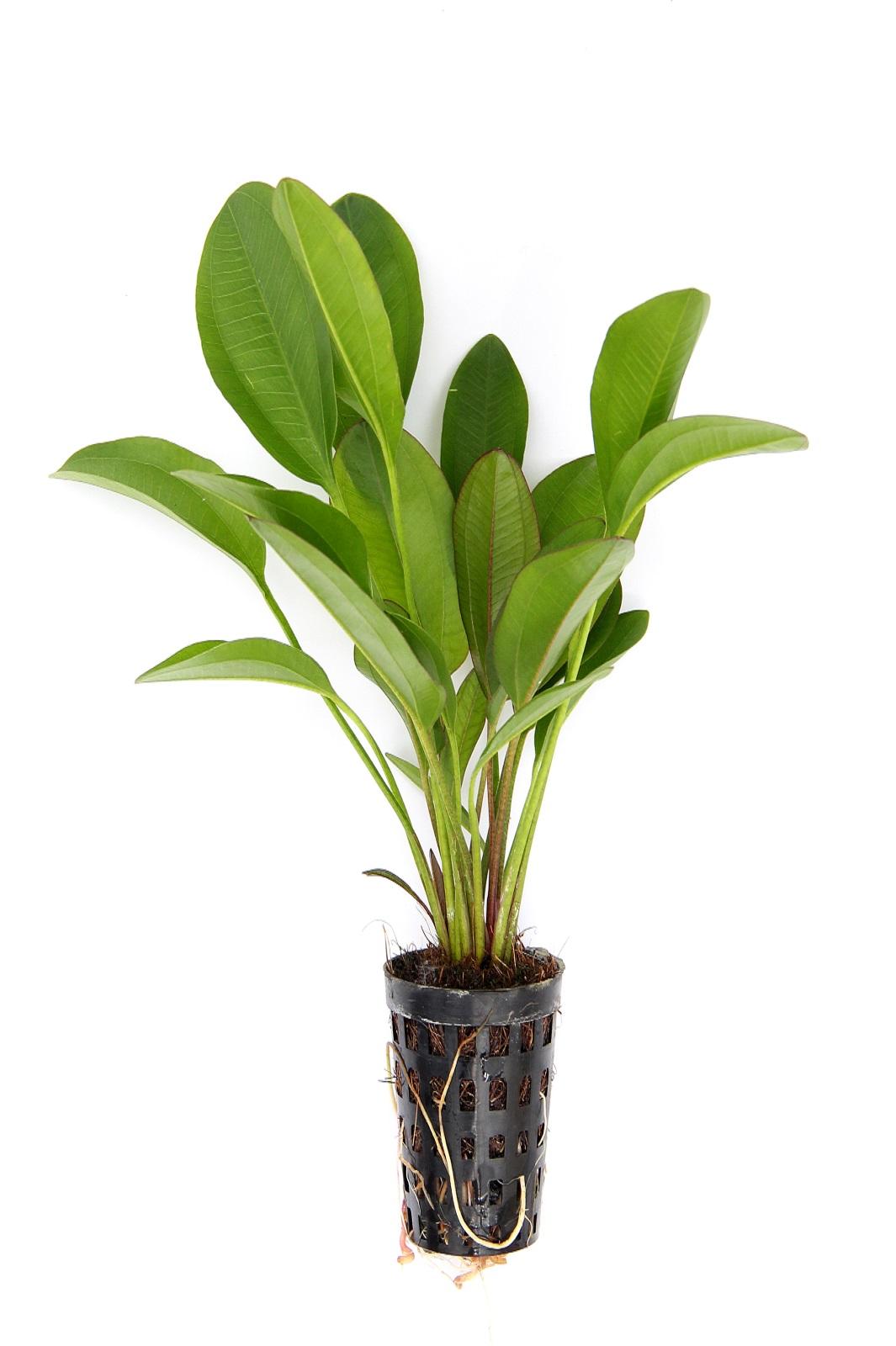 Echinodorus Dschungelstar Nr. 2 ´KLEINER BÄR´