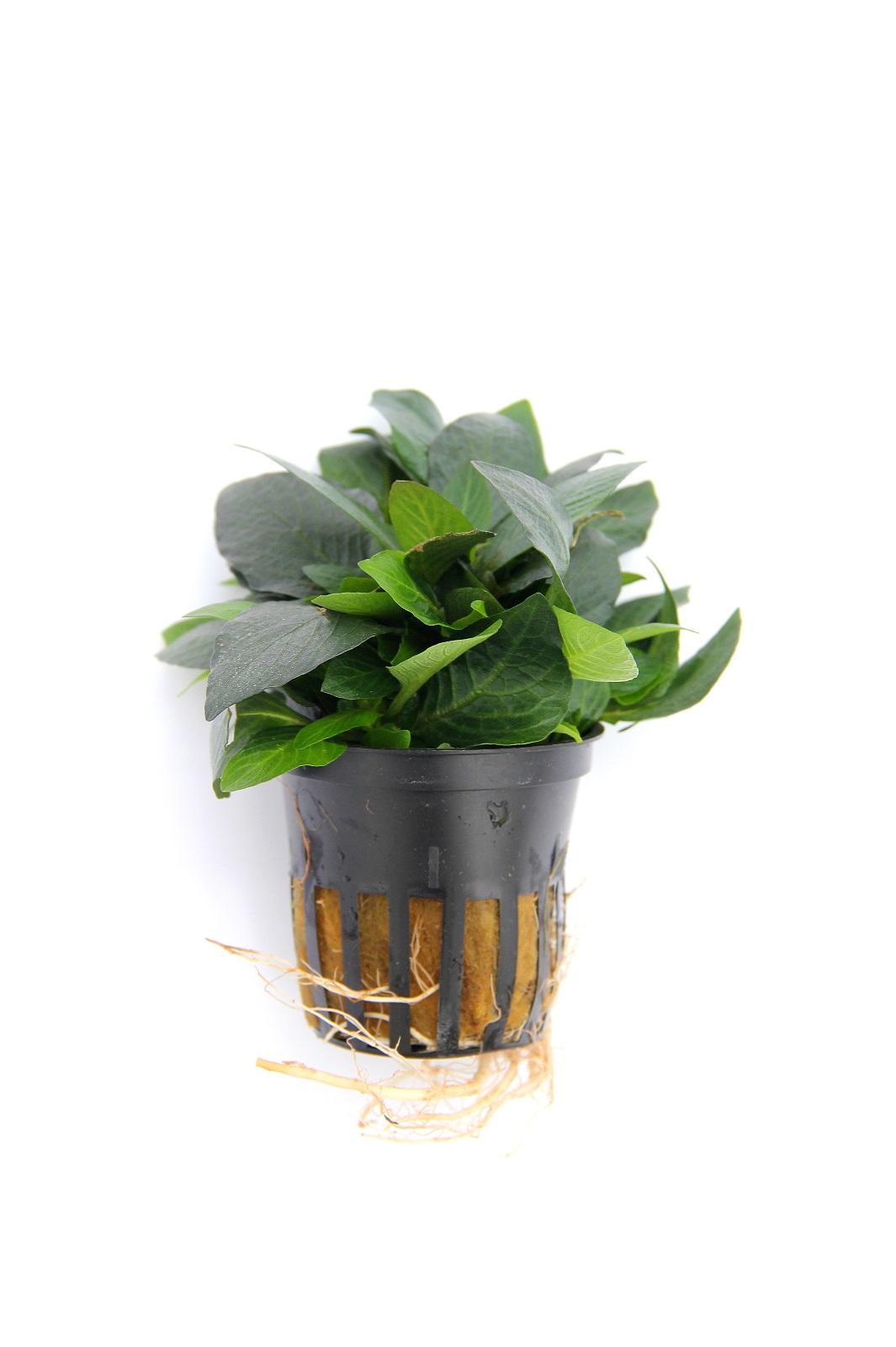 Hygrophila corymbosa Kompakt Wasserpflanze Aquarium