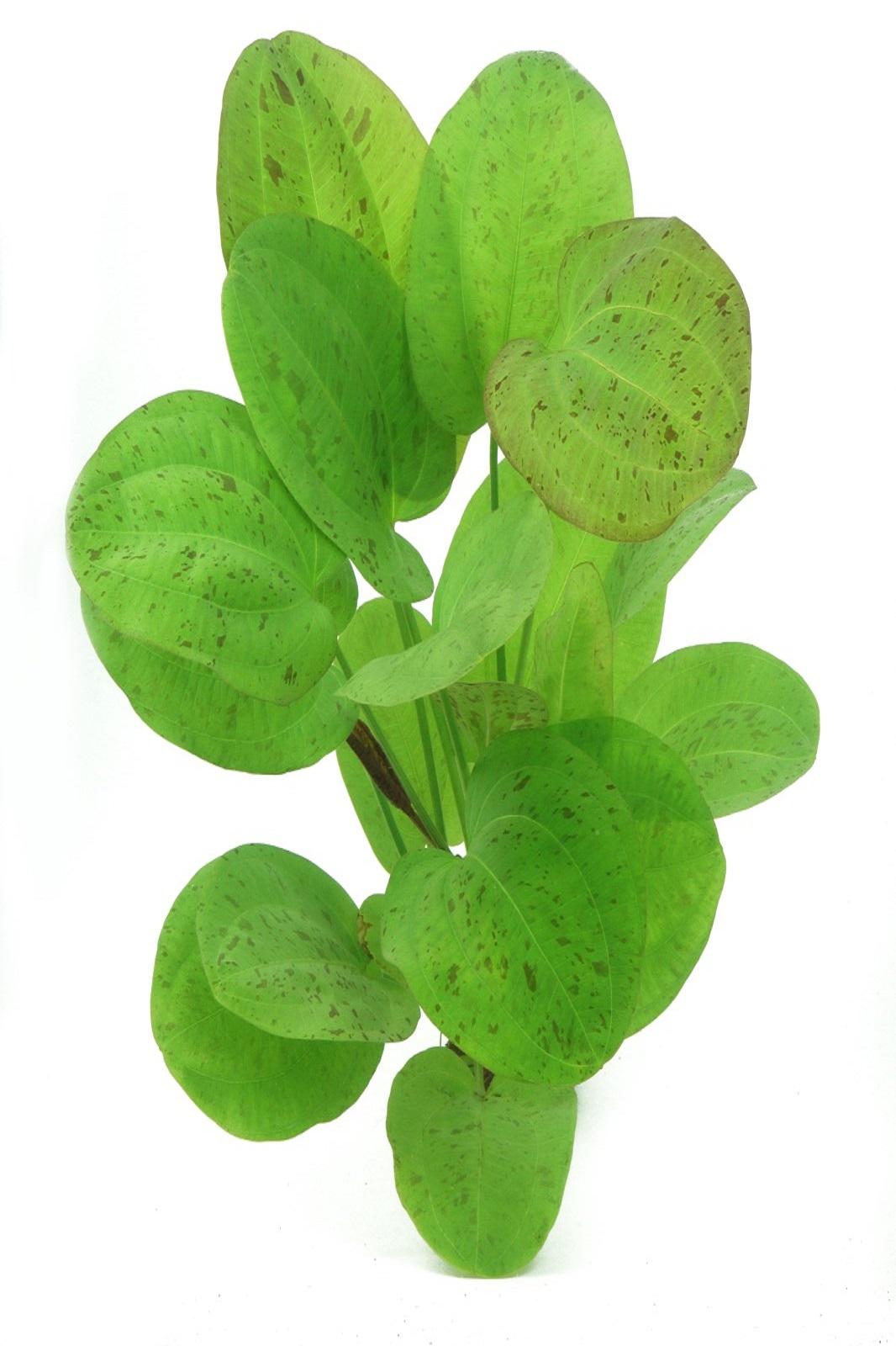 Echinodorus Dschungelstar Nr.9´Getüpfelter Harbich´