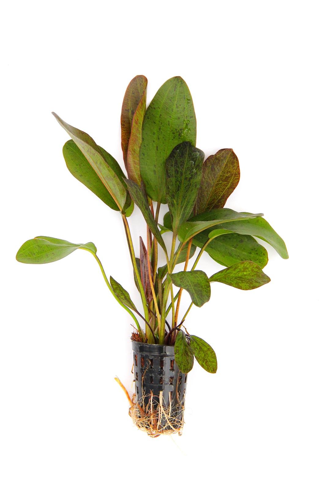Echinodorus Ozelot Grün Wasserpflanze fürs Aquarium