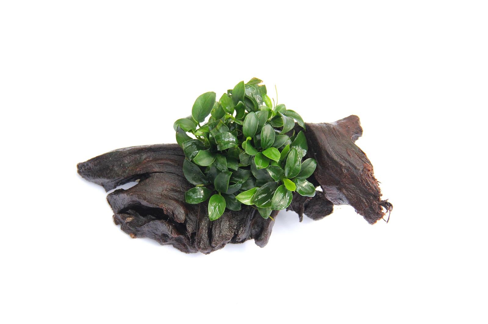 Zwergspeerblatt auf Bonsai-Wurzel Anubias nana