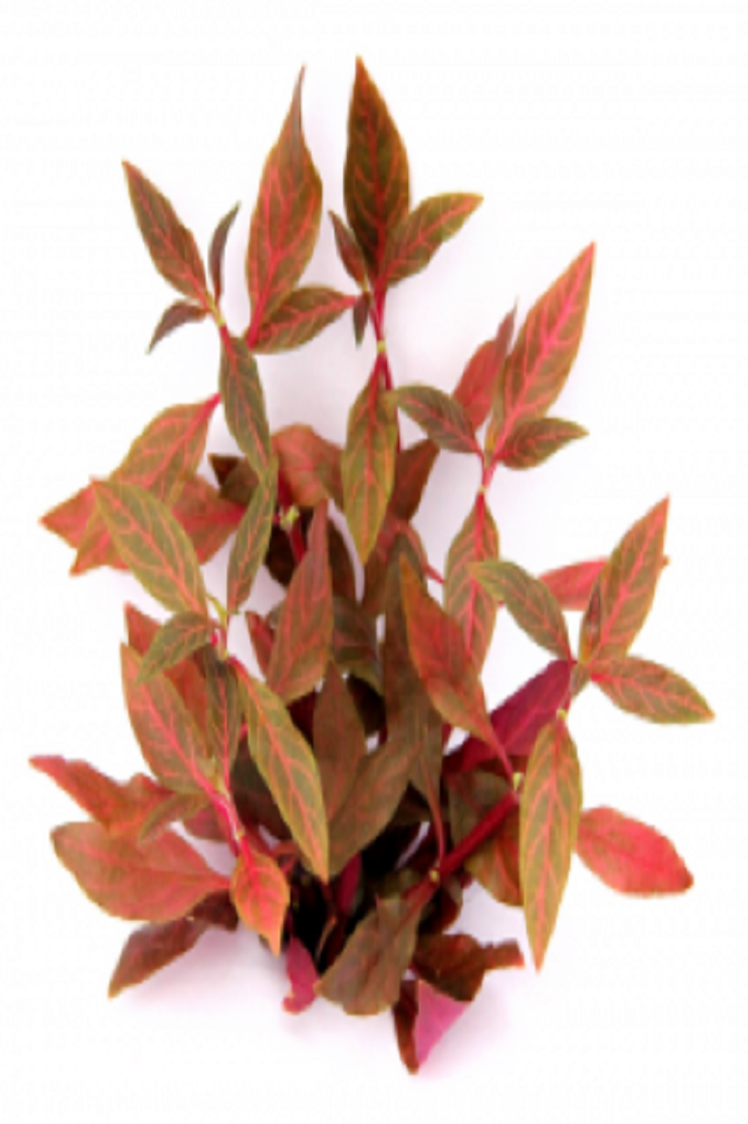 Alternanthera reineckii Red Ruby Wasserpflanze Aquarium