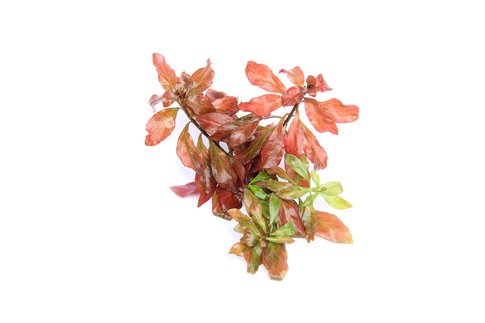 Ludwigia spec. Dark Orange Wasserpflanze Dennerle Aquariumpflanze