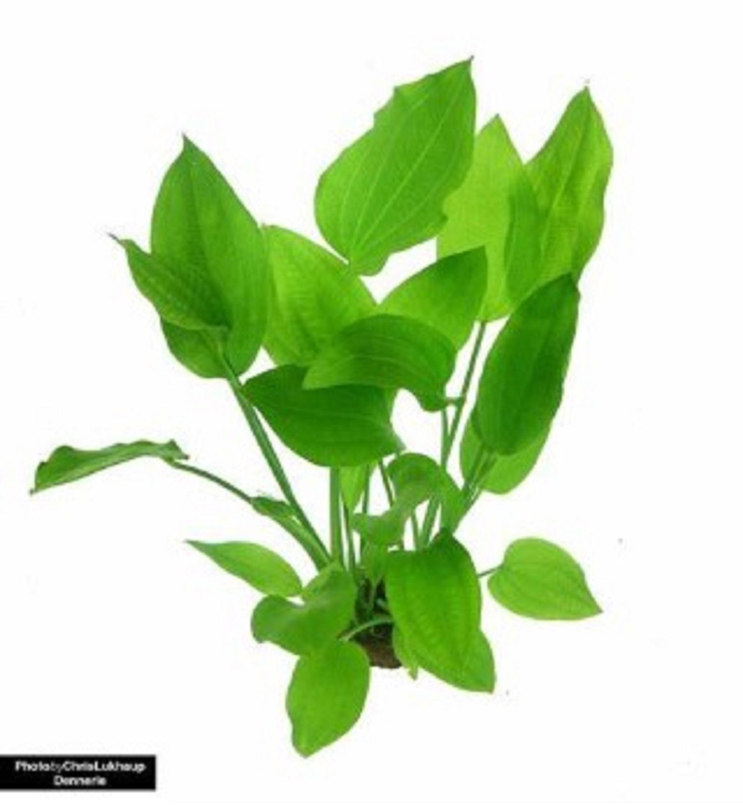 Dennerle Wasserpflanze  Aquariumpflanze Echinodorus Argentinensis Tonring