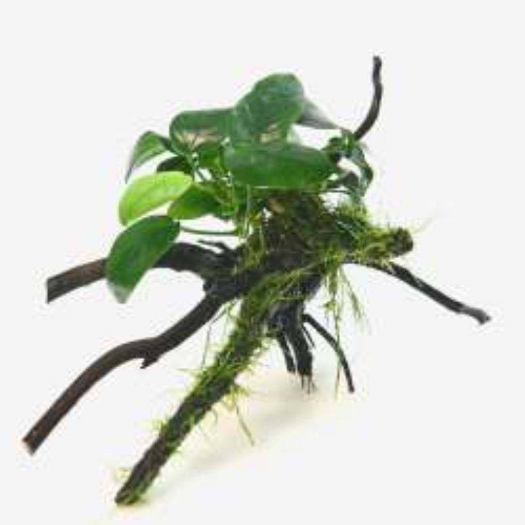 Anubias barteri nana mit Taxiphyllum barbieri Spiderwood Wasserpflanze Dennerle