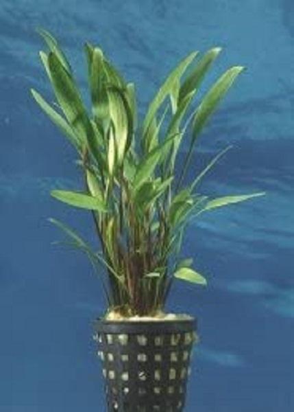 Cryptpcotyne lucens Schmalblättriger Nevilii Wasserkelch Wasserpflanze