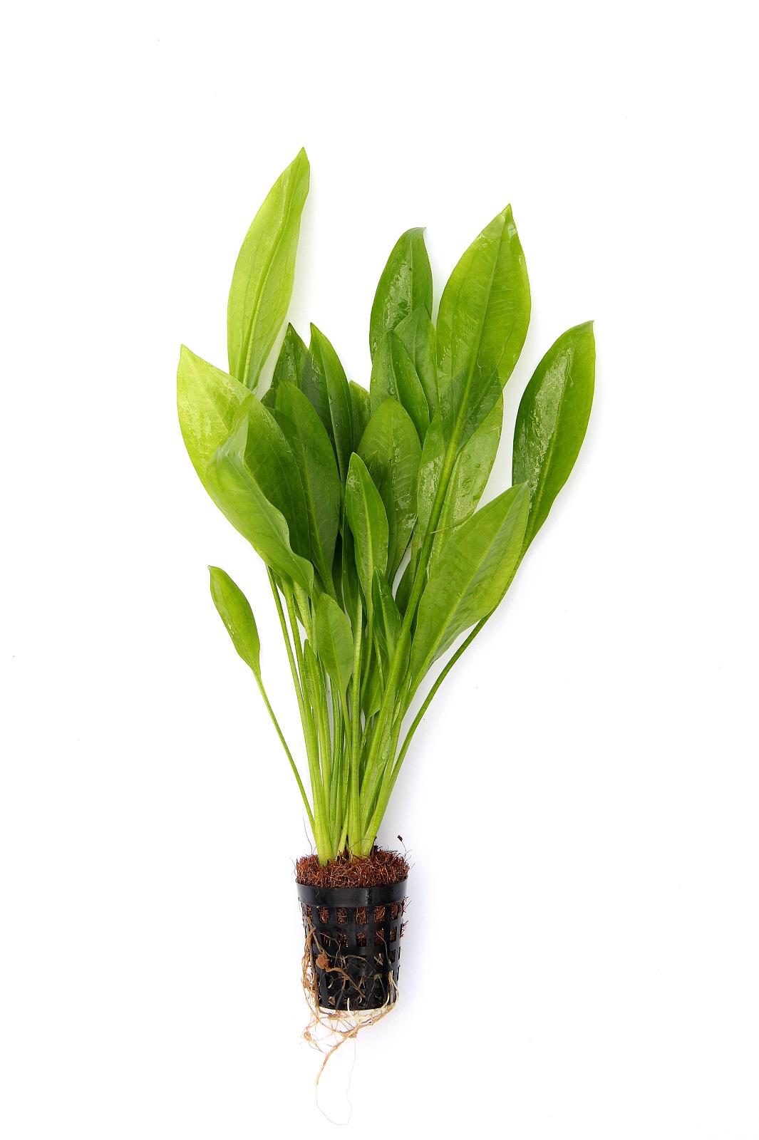 Echinodorus grisebachii Bleherae Grosse Amazonas - Schwertpflanze