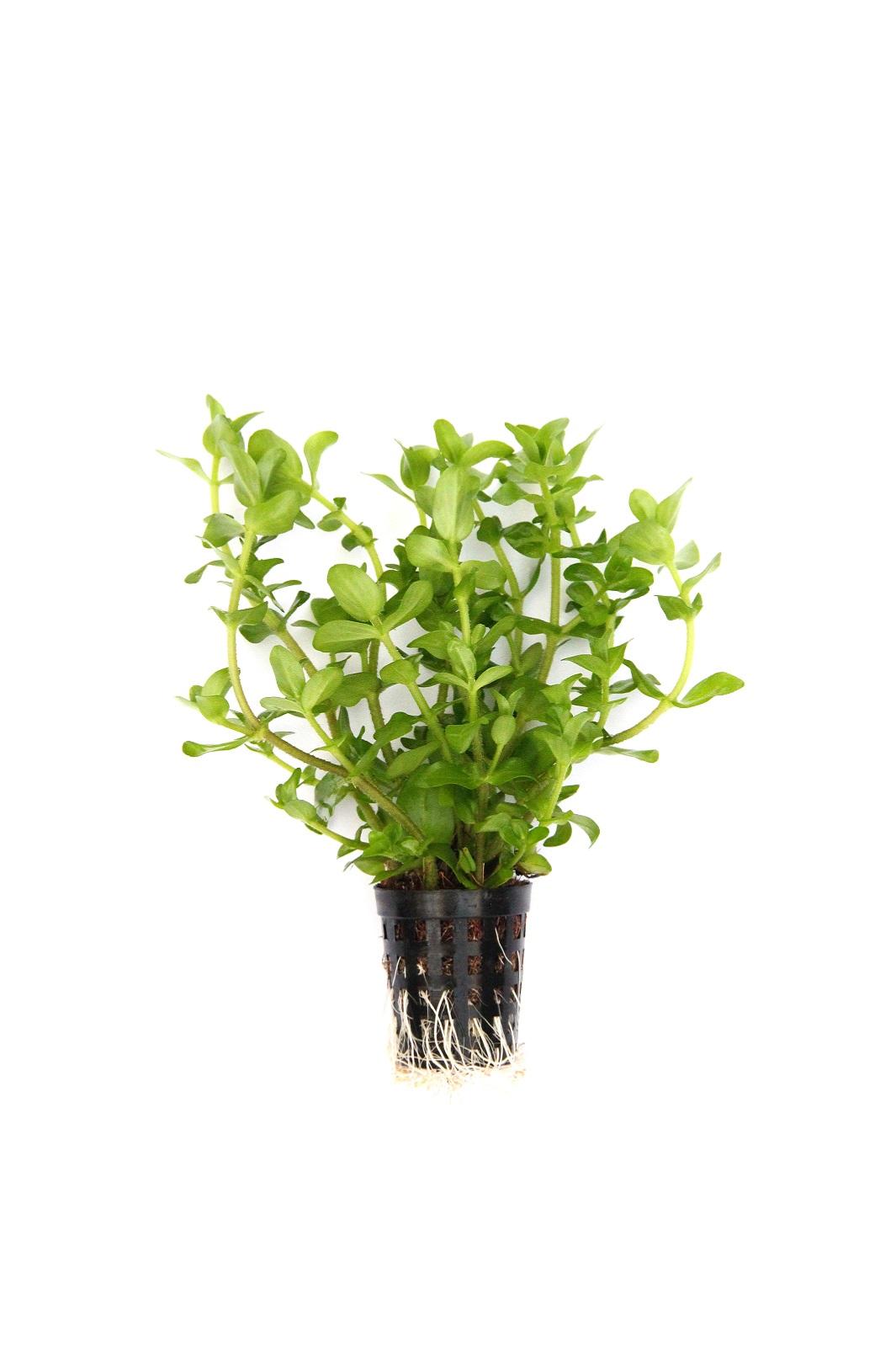 Bacopa caroliniana  großes Fettblatt Aquarium Pflanze