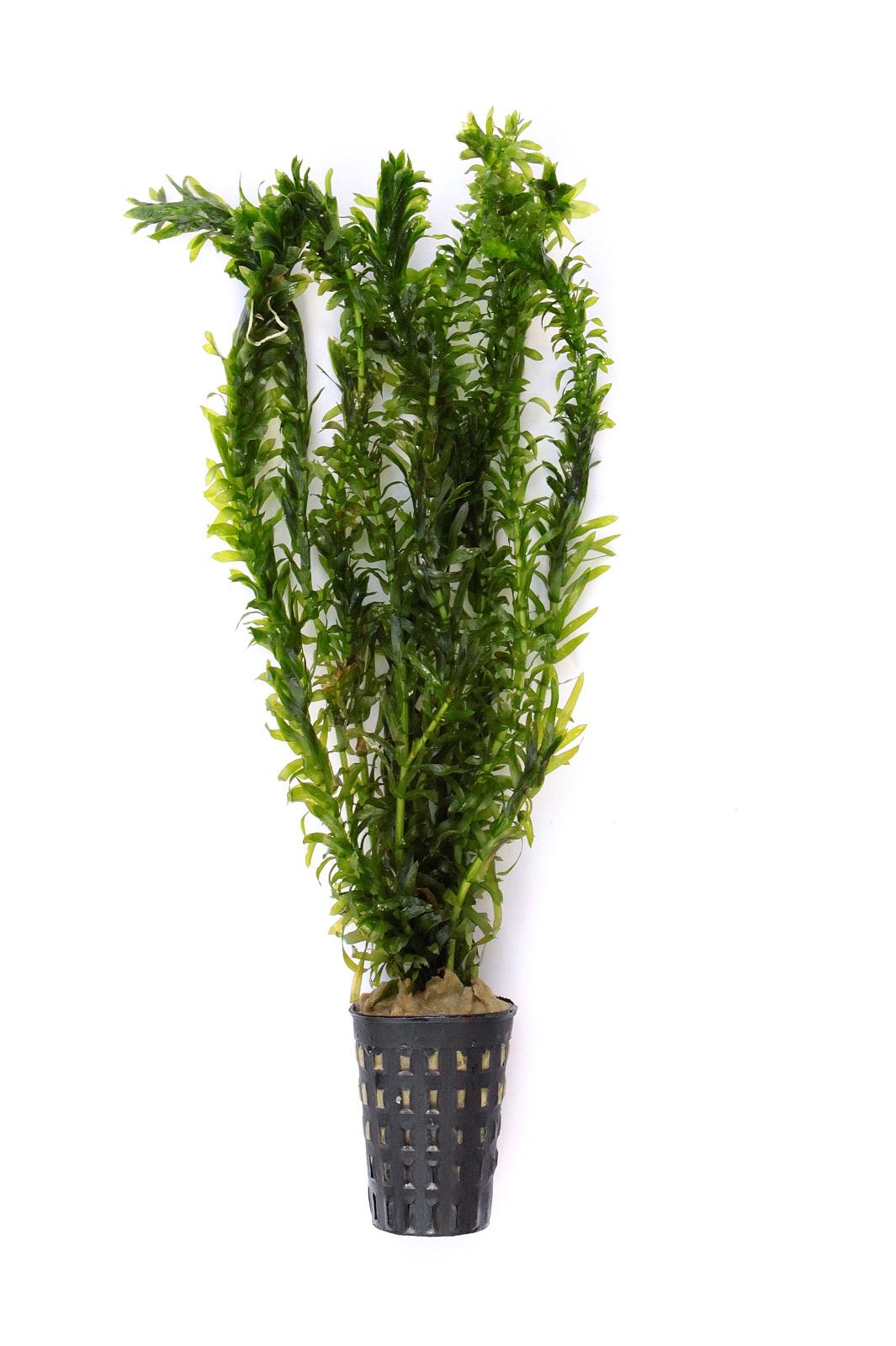 """Egeria densa """"tropische Art"""" Tropische Wasserpest im Topf"""