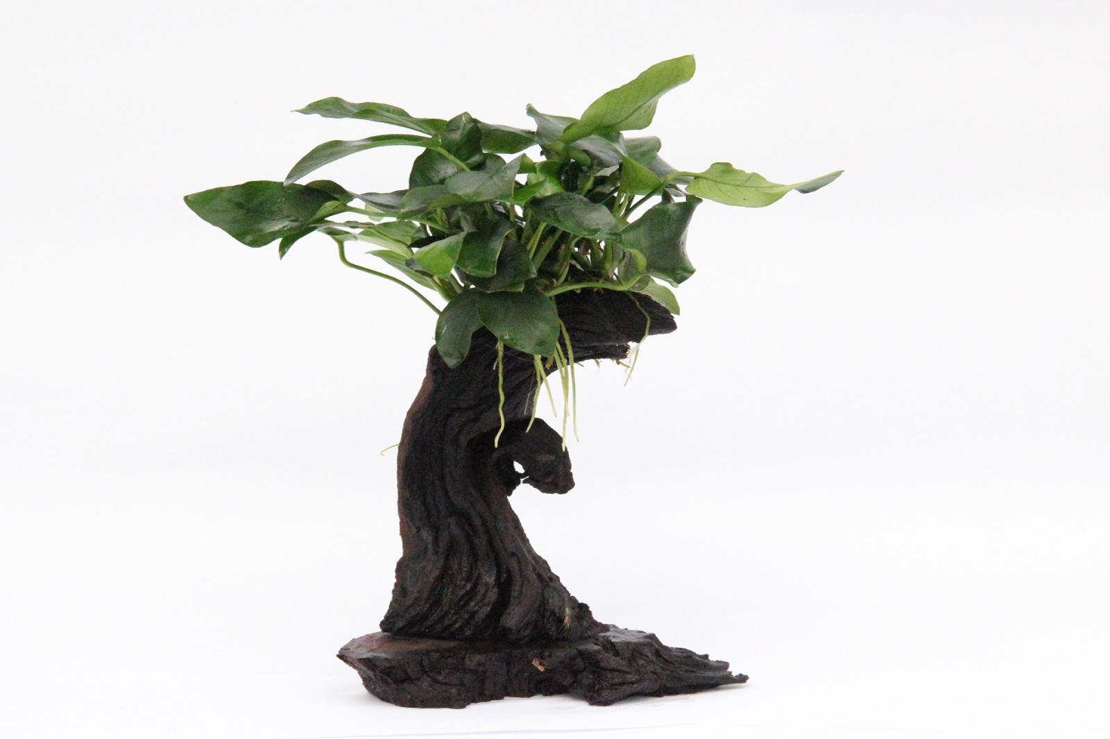 Mbuna klein mit Wasserpflanzen Speerblattaufwuchs fürs Aquarium