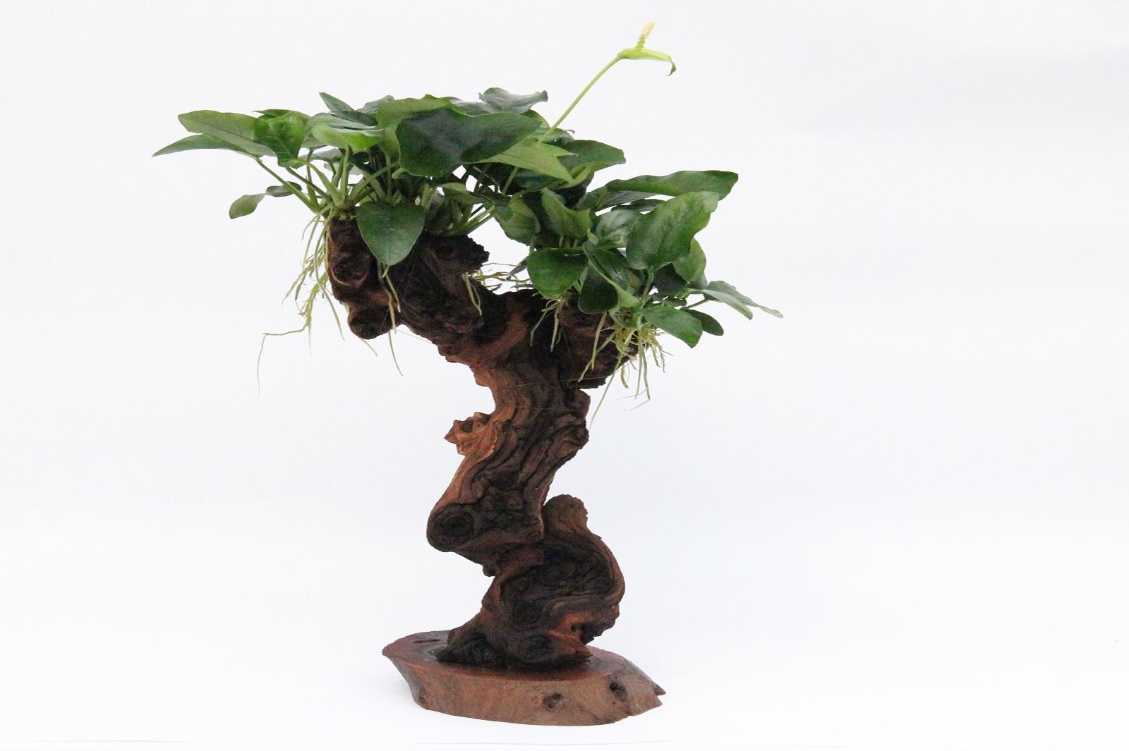 Mbuna mittel mit A 21.0 Aquariumpflanze
