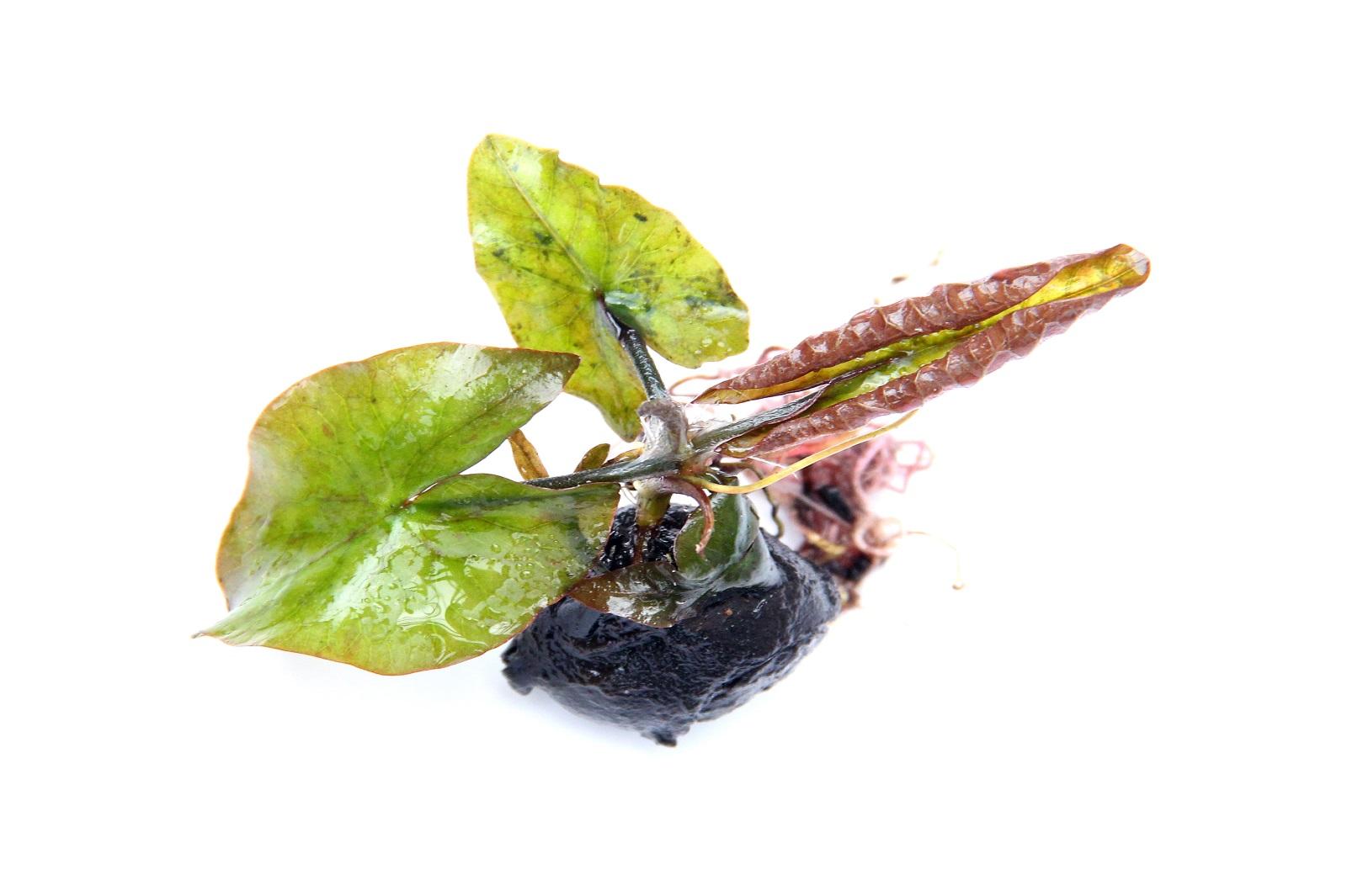 Nymphaea lotus ´Rot´ Roter Tigerlotus als angetr.Knollen Wasserpflanze im Topf