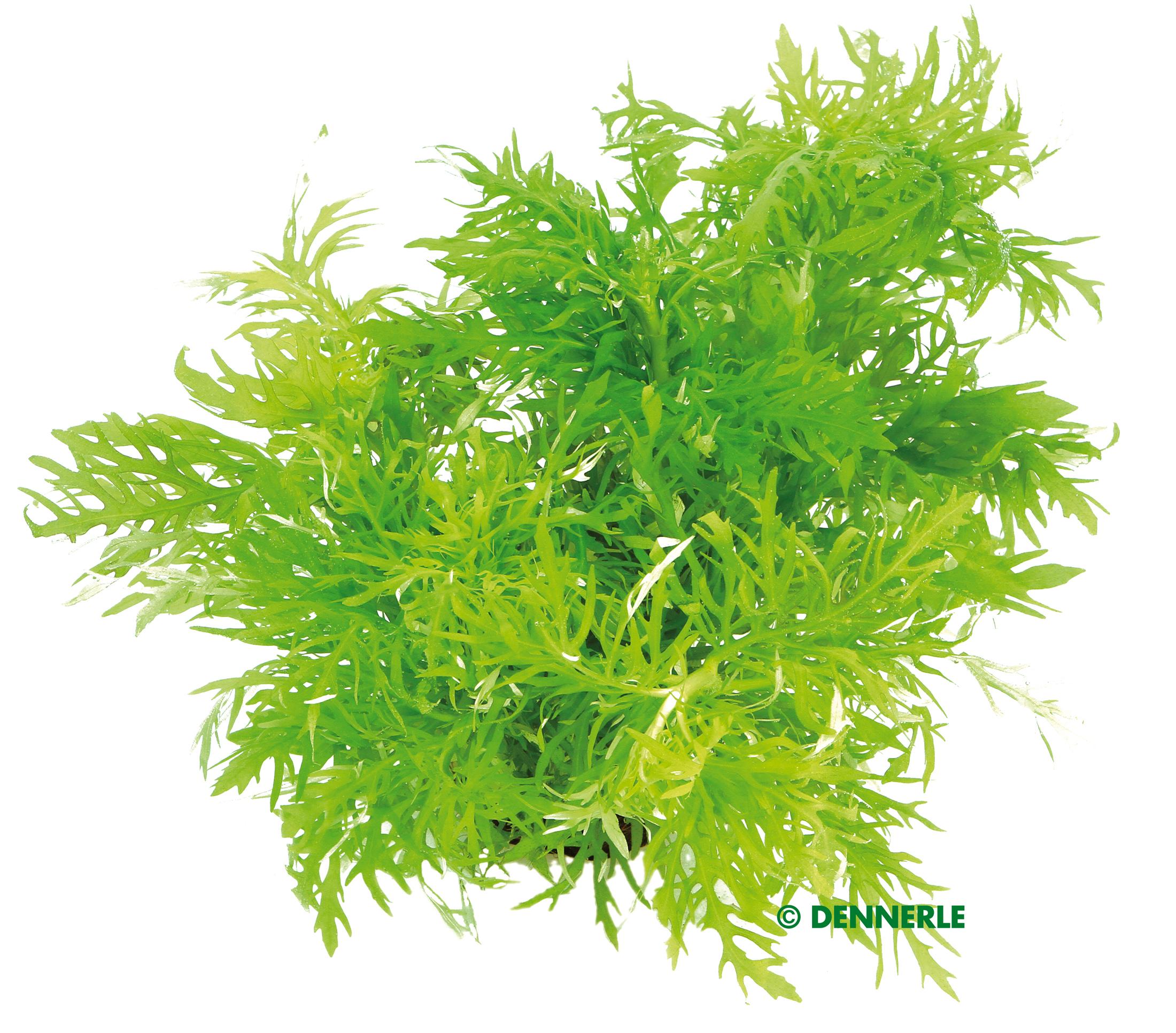 Hydrophila difformis indischer Wasserstern Wasserpflanze Aquariumpflanze