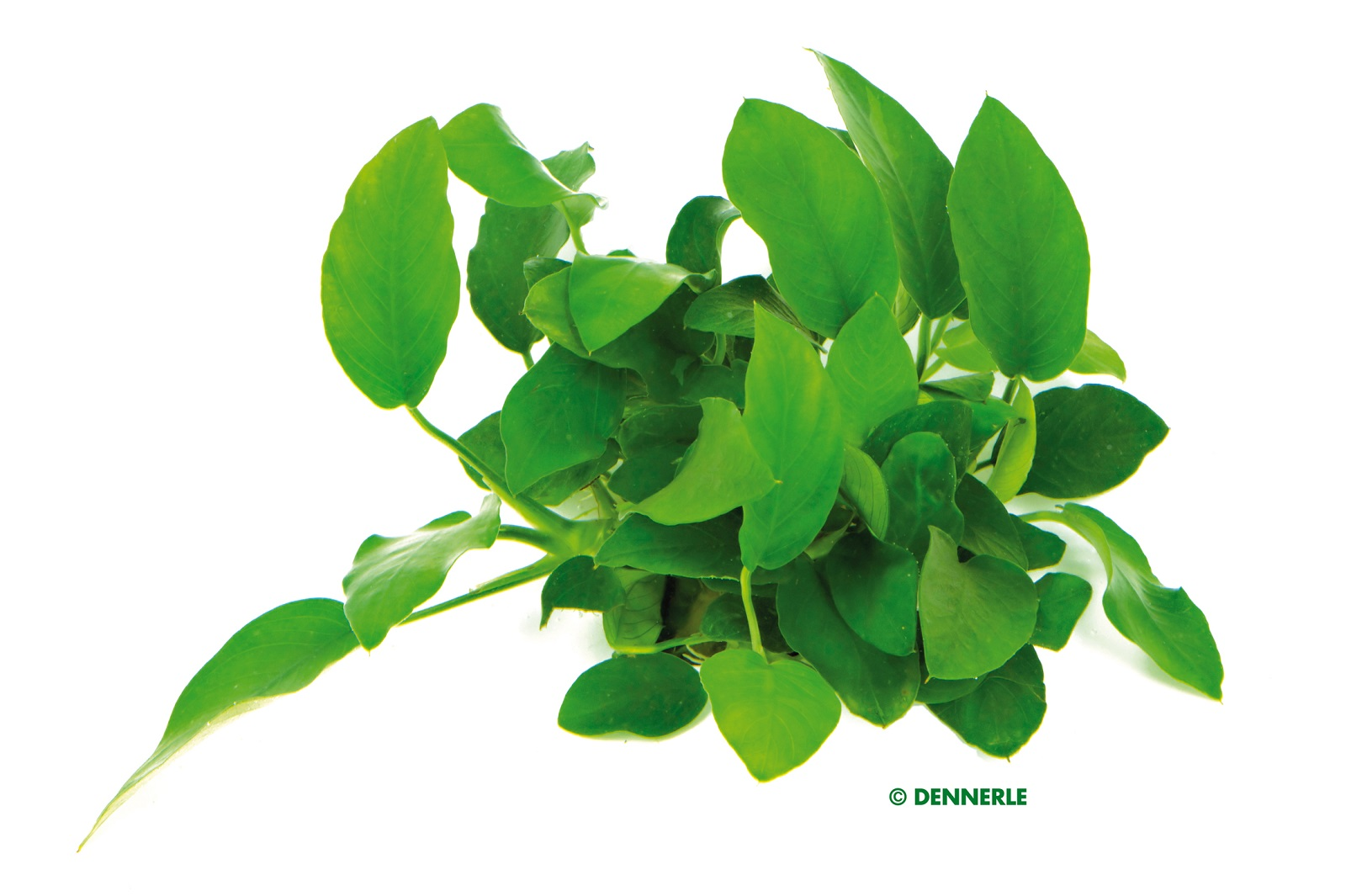 Anubias barteri nana Zwergspeerblatt mehrtriebig Aquariumpflanze