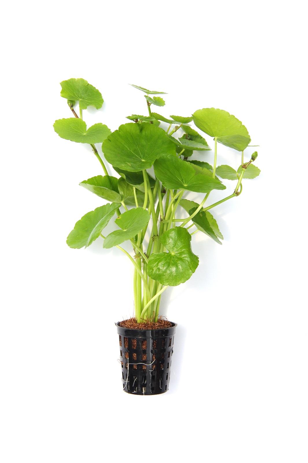 Hydrocotyle leucocephala  Brasiliansicher Wassernabel Aquariumpflanze