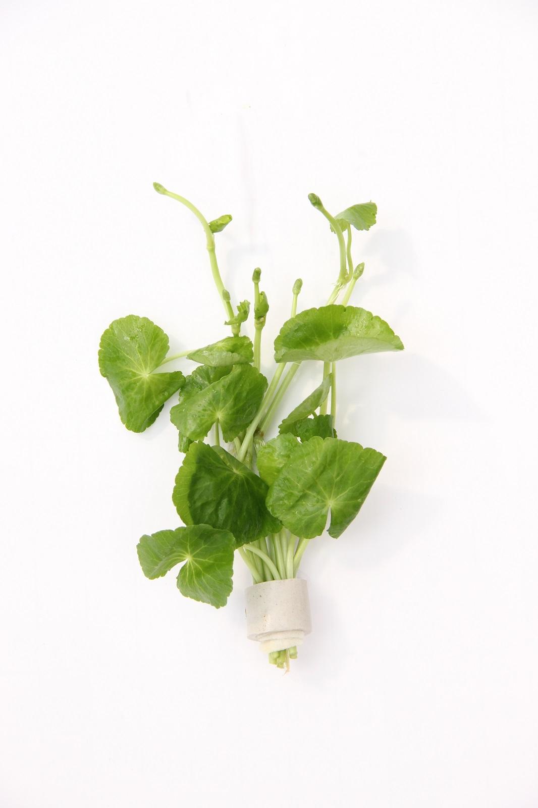 Hydrocotyle verschied. Arten Wasserpflanze für Aquarium Dennerle