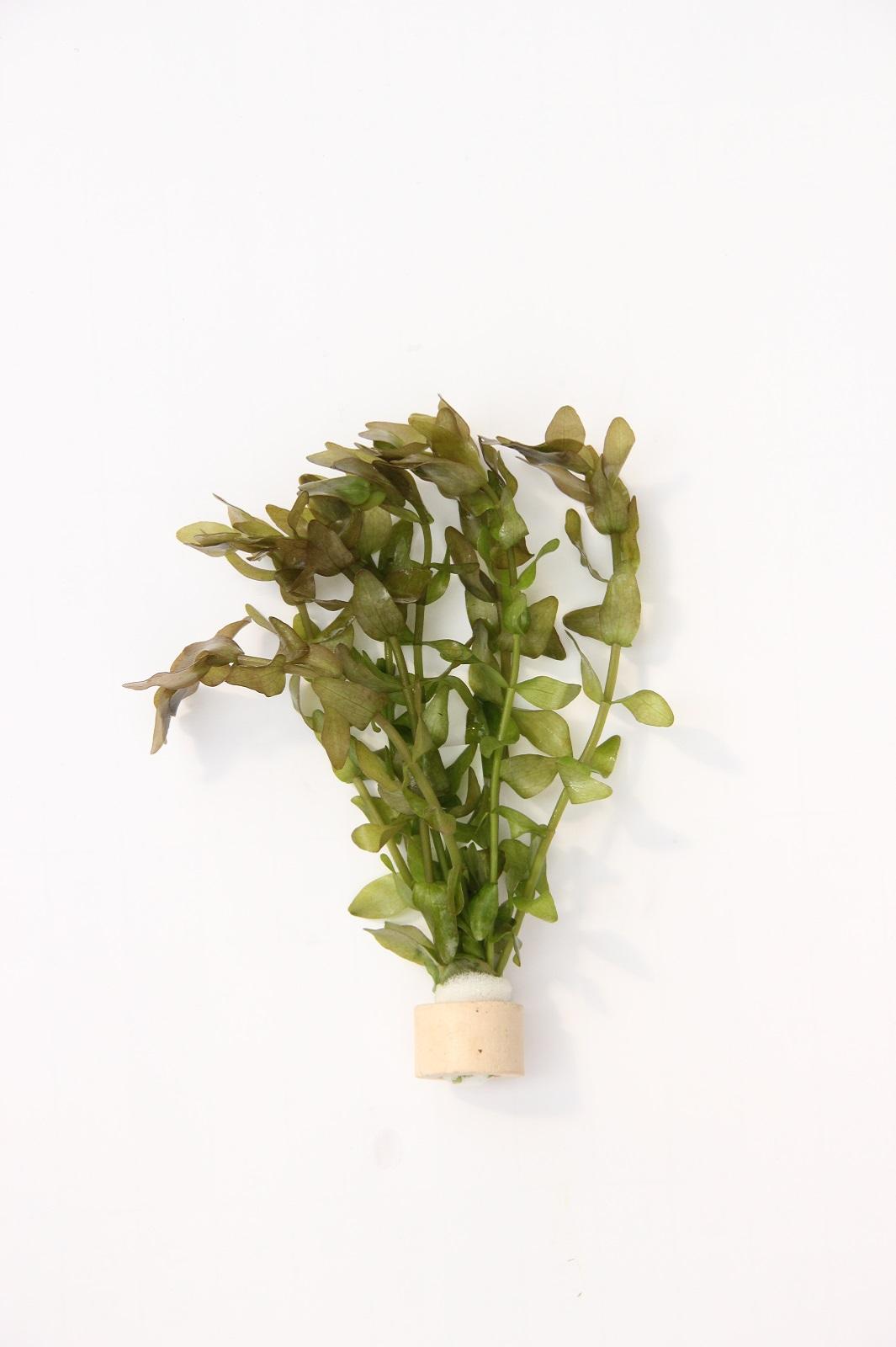 1 Tonring Bacopa carolineana eine schöne Aquariumpflanze