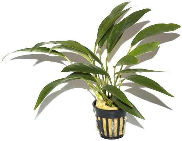 Anubias barteri angustifolia im Topf Wasserpflanzen Aquariumpflanzen