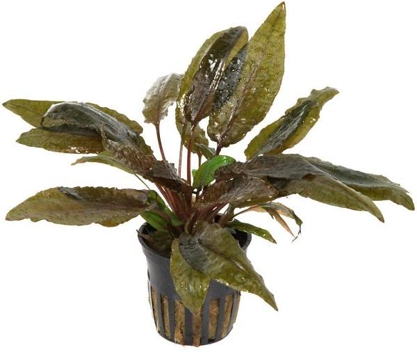 Cryptocoryne wendtii 'Tropica' im Topf Wasserpflanzen Aquariumpflanzen